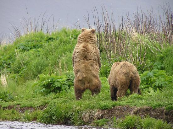kodiak-bears-on-thumb